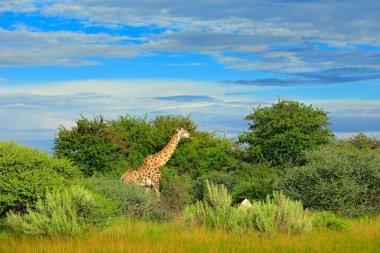 Giraffe, green vegetation with animal. Wildlife scene from nature, Okavango, Botswana, Africa.