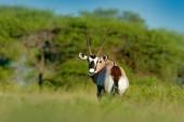 Gemsbok mit grünem Wald, Abendsonnenuntergang. Gemsbuck, Oryx gazella, große Antilope im Lebensraum der Natur, Nxai Pan, Botswana, Afrika. Wilde Tiere in der Savanne. Tier mit großem geraden Geweihhorn.