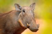 Warzenschwein, braunes Wildschwein mit Stoßzahn. Nahaufnahme Detail der Tiere in der Natur Lebensraum. Tierwelt Natur auf afrikanischer Safari, Kruger Nationalpark, Südafrika.