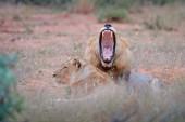 Fotografie Lev s otevřenou. Portrét dvojice lvů, Panthera leo, detail velkých zvířat, Krugerův národní Park Jižní Afriky. Kočky v přírodě stanovišť. Pozdrav z mužů a žen