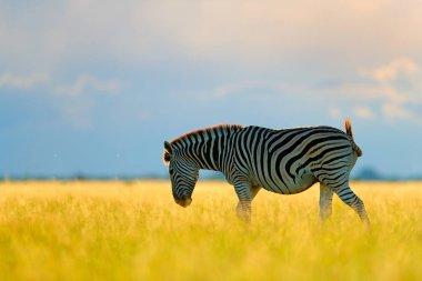 Wild animal on the green meadow during sunset. Wildlife nature, beautiful evening light. Zebra with blue storm sky. Burchell's zebra, Equus quagga burchellii, Nxai Pan National Park, Botswana, Africa.