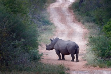 Rhino on the road in forest habitat. White rhinoceros, Ceratotherium simum, with cut horns, in the nature habitat, Kruger National Park. Africa. Wildlife scene from nature.  Big animal in the forest.