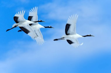 Three birds on the sky. Flying white birds Red-crowned cranes, Grus japonensis, with open wings, blue sky with white clouds in background, Hokkaido, Japan. Wildlife scene from nature.