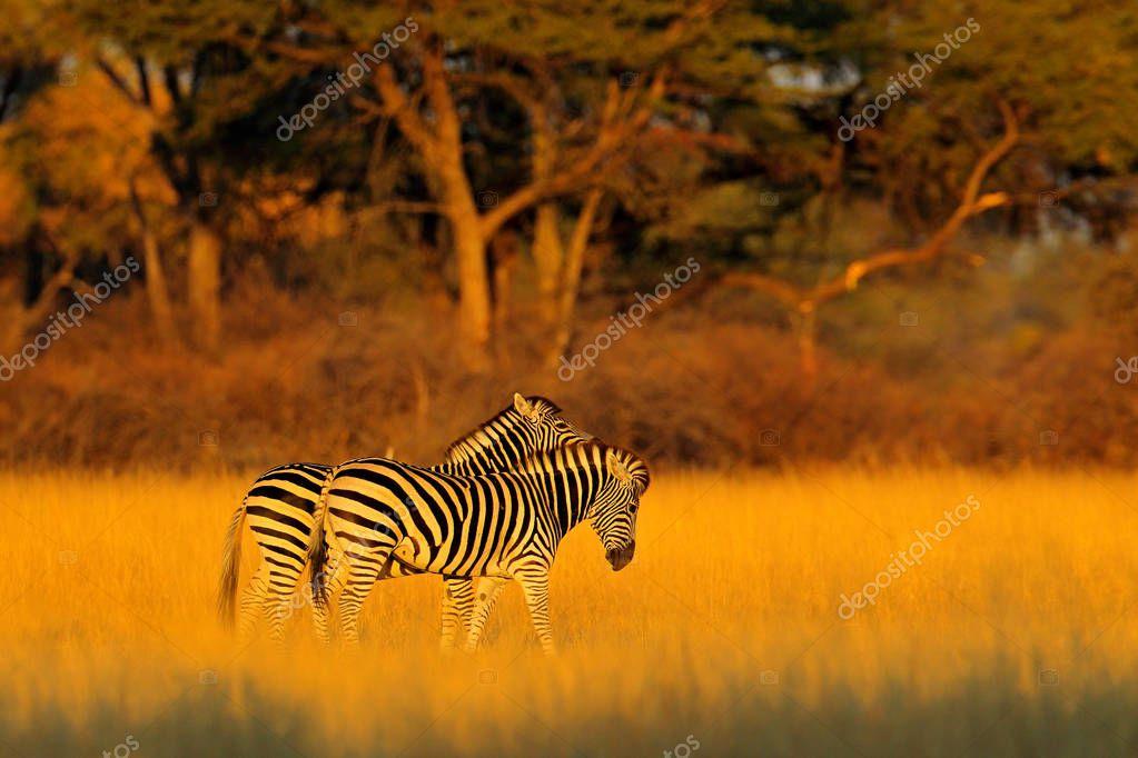 Plains zebra, Equus quagga, in the grassy nature habitat with evening light in Hwange National Park, Zimbabwe. Sunset in savanah. Animals with big trees.