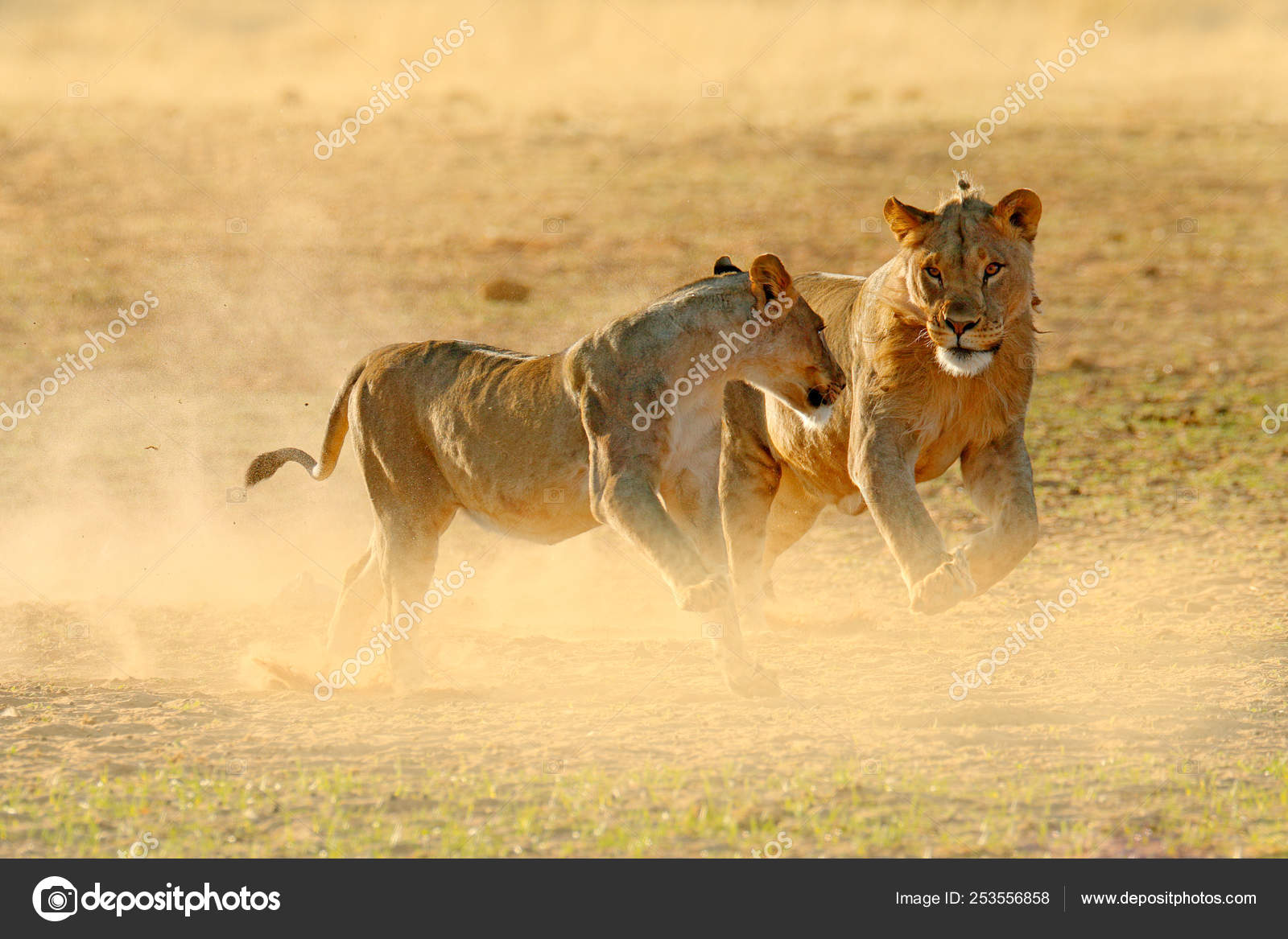 Lions Fight Sand Lion Open Muzzle Pair African Lions Panthera