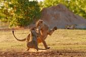 Lvi bojovat v písku. Lev s otevřenou. Pár lvů, Panthera leo, detail velkých zvířat, Etosha Np, Namibie v Africe. Kočky v přírodě stanovišť. Chování zvířat v Namibii.