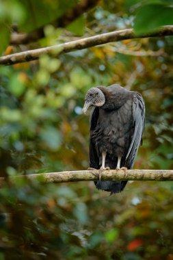 Vulture sitting on the tree in Costa Rica tropic forest. Black bird Black Vulture, Coragyps atratus, bird in the habitat. Wildlife scene from nature.