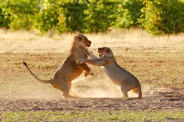 Lions fight in the sand. Lion with open muzzle. Pair of African lions, Panthera leo,  Etosha NP, Namibia in Africa. Cats in nature habitat, animal behaviour.