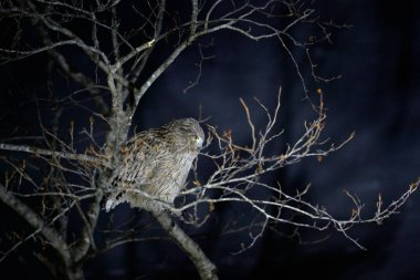 Blakiston's fish owl, largest living species of fish eagle owl. Bird hunting in cold water. Wildlife scene from winter Hokkaido, Japan.