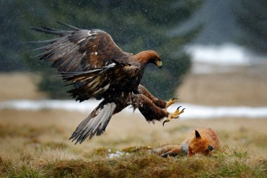 Golden Eagle feeding on kill Red Fox in the forest during rain and snowfall. Bird behaviour in the nature. Behaviour scene with brown bird of prey, eagle with catch, Poland, Europe.