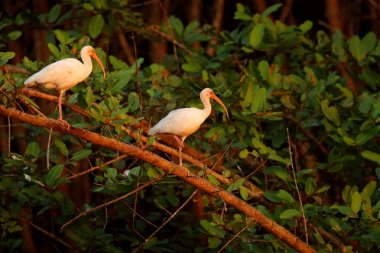 Two birds in mangrove vegetation, Tarcoles, Costa Rica. Feeding scene with birds. White Ibis, Eudocimus albus, white birds with red bills. Wildlife scene from nature with mangrove trees.