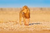 Lví chůze. Portrét lva afrického, Panthera Leo, Etocha NP, Namibie, Afriky. Kočka v suchém prostředí, horký slunečný den v poušti. Divoká příroda z přírody.