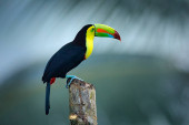 Photo Wildlife from Yucatn, Mexico, tropical bird. Toucan sitting on the branch in the forest, green vegetation. Nature travel holiday in central America.