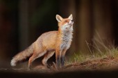 Cute Red Fox, Vulpes vulpes in fall forest. Beautiful animal in the nature habitat. Wildlife scene from the wild nature. Fox running in orange and yellow autumn leaves. Animal in fall wood habitat.