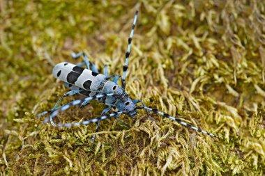 Beautiful blue incest with long feelers. Rosalia Longicorn, Rosalia alpina, in the nature green forest habitat, sitting on the green larch, Czech republic, longhorn beetle.