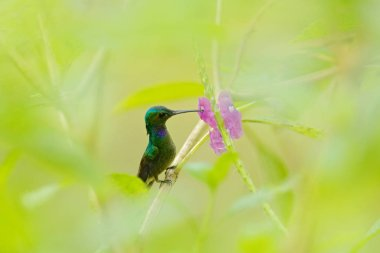 Charming Hummingbird, Amazilia decora, bird feeding sweet nectar from flower pink bloom. Hummingbird behaviour in tropic forest, nature habitat in Corcovado NP, Costa Rica. Bird in fly, wildlife.