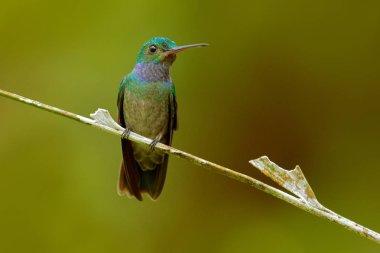 Charming Hummingbird, Amazilia decora, bird feeding sweet nectar from flower pink bloom. Hummingbird behaviour in tropic forest, nature habitat in Corcovado NP, Costa Rica wildlife.