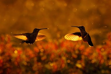 Sunset with hummingbirds in fly. Talamanca admirable hummingbird, Eugenes spectabilis, portrait of beautiful bird with evening light. Wildlife scene from nature.. Tapant�� NP, Costa Rica. Wildlife.