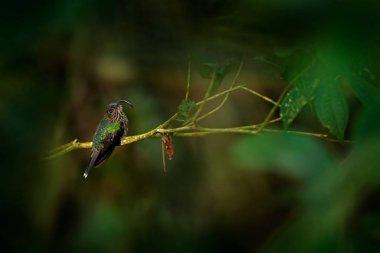 White-tipped Sicklebill, Eutoxeres aquila, hummingbird from Suma