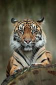 Photo Sumatran tiger, Panthera tigris sumatrae, rare tiger subspecies that inhabits the Indonesian island of Sumatra. Face close-up portrait of tiger from Indonesia.