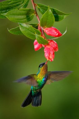 Fiery-throated Hummingbird, Panterpe insignis, shiny colorful bird in flight. Wildlife flight action scene from tropical forest in dark habitat. Mountain bright animal from Costa Rica.