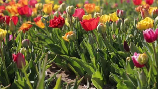 Zblízka barevné tulipány květiny cibule, hlavy na zahradním poli. Detailní výsadba tulipánů květiny cibule kvetoucí, kvetoucí. Jarní květiny sluneční světlo zahradní pozadí. Tulipány květiny rostoucí na poli Full Hd, 1080p