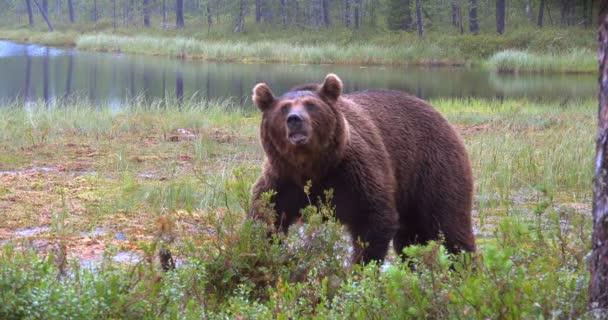 videó a barna medve erdőben eszik a növényeket bogyók