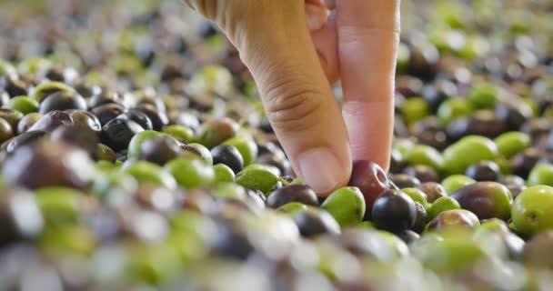 close up video of person checking black olive from heap