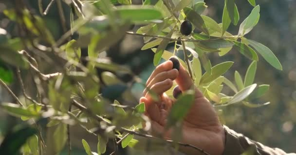 slow motion video of man picking black olive from tree