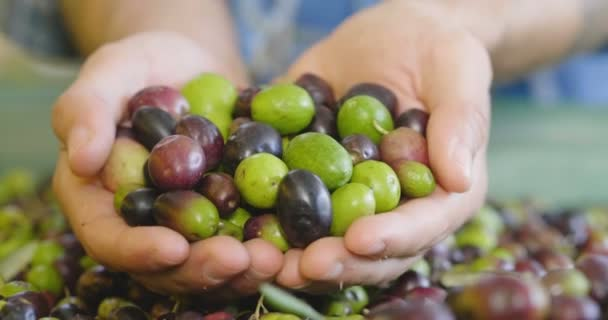 close up video of person holding olives fruits berries in hands and showing on camera