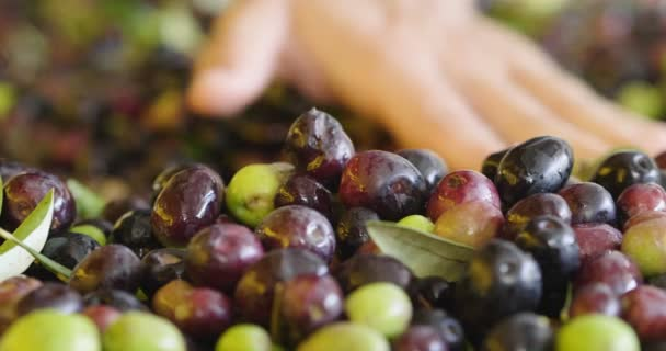 close up video of person checking and touching olives fruits berries