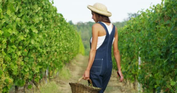 video of farmer woman wearing denim overalls and walking in in vineyard with basket full of grapes harvest
