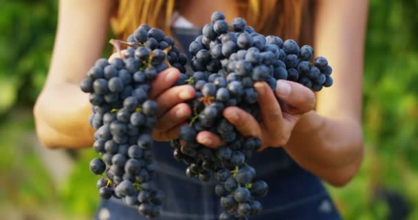 video of farmer woman in vineyard holding and showing black grapes on camera