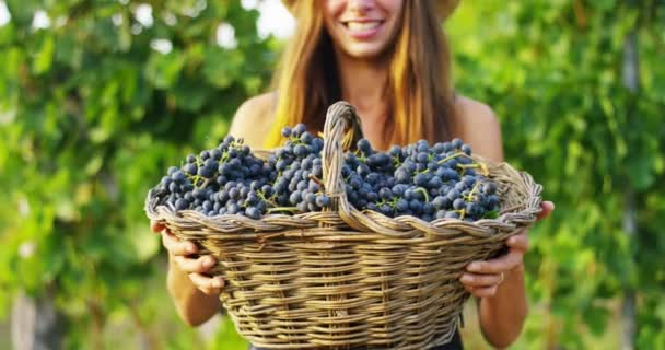 video of farmer woman in vineyard holding basket with grapes harvest