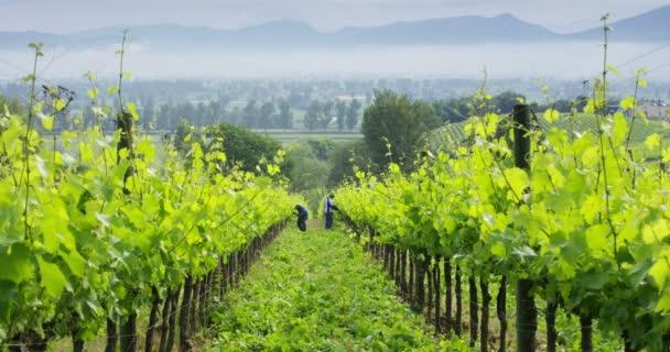 sklizeň hroznů na vinicích, práce na plantážích, video