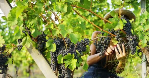 video of farmer woman in vineyard, cutting grape branch with harvest scissors