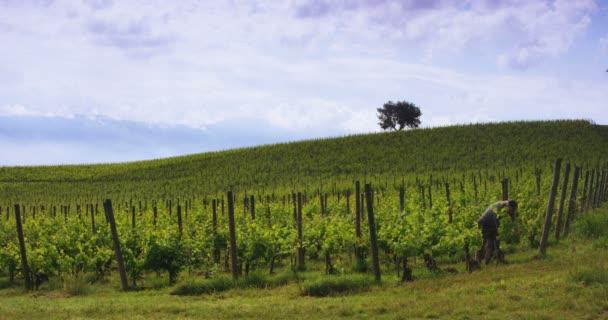 sklizeň hroznů na vinici, práce na plantáži, video