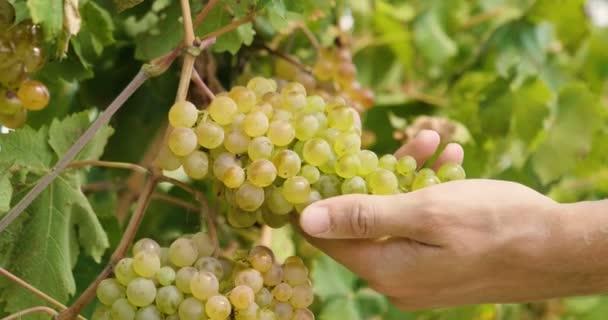 video of farmer man cutting grape branch with harvest scissors