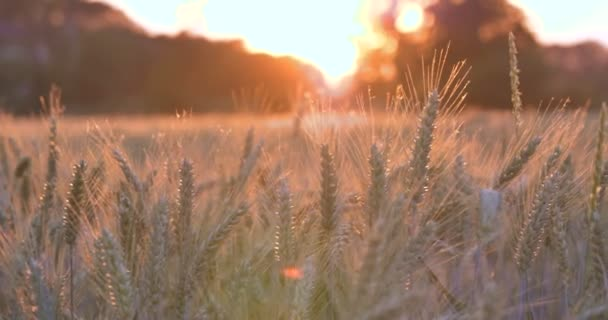 füle vidéken Búzamező, lassú mozgás video-ból táj