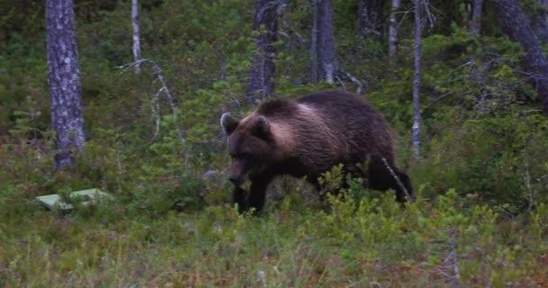 videó a kis barna medve séta erdőben