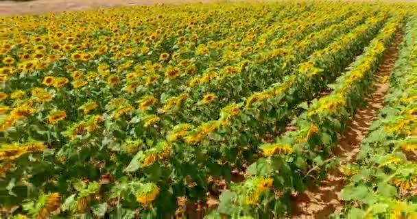 A napos, gyönyörű színes napraforgó, sárga, narancs, fekete közelről a természet háttér. Koncepció: napraforgó, ökológia, bio termék, mag, napraforgó növény, zöldek, napraforgó mezők.