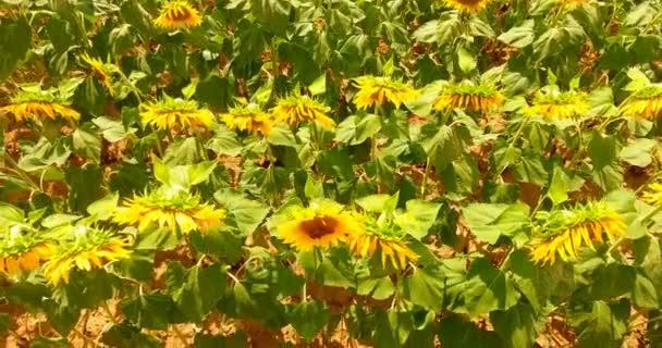 Na slunečný den, krásné barevné Slunečnice, žlutá, oranžová, černá detail na pozadí přírody. Koncepce: slunečnice, ekologie, bio produkt, semena, slunečnicová rostlin, zelení, pole slunečnic.