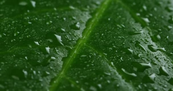 close up, macro video of green leaf surface with water drops, raining