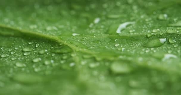 közeli, makró videó a zöld leveles felületén vízzel csepp