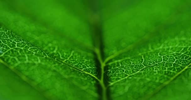 macro video of green leaf surface with leaf veins