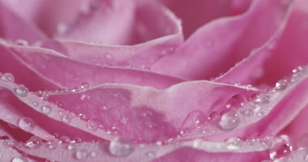full-frame makró videó rózsaszín rózsaszirom