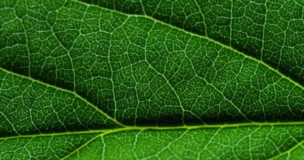 close up, macro video of green leaf surface with leaf veins