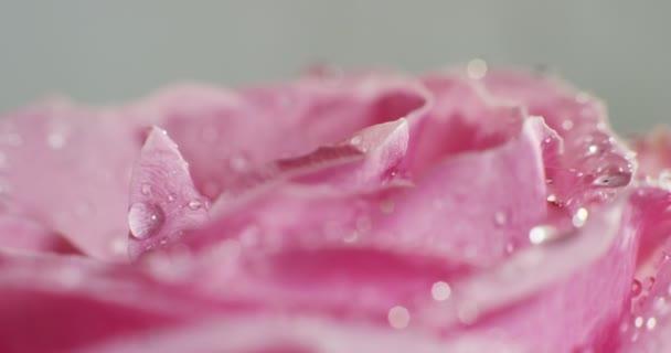 Nahaufnahme, Makrovideo von rosa Rosenblättern mit Tröpfchen