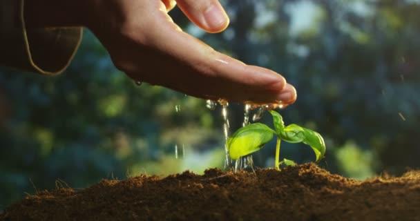 zpomalené video osoba ruky zalévání, rostoucí malé rostlin v terénu pozemku