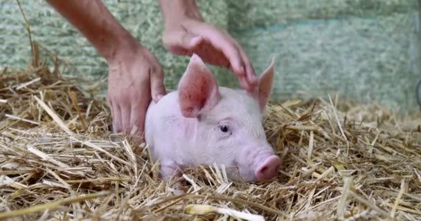 prase roztomilý novorozence stojící na trávě trávníku. Koncepce biologických, zvířecí zdraví, přátelství, láska k přírodě. veganské a vegetariánské styl. respekt k přírodě .
